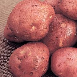 Potato 'Desiree' - more Vitamin C than other varieties. Image ©Marshalls Seeds