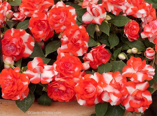 Impatiens Fiesta Sparkler Orange - double impatiens are very susceptible to downy mildew. Image ©GardenPhotos.com)