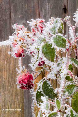 Rosa-Suffolk-Winter-Frost-Rose-J019692