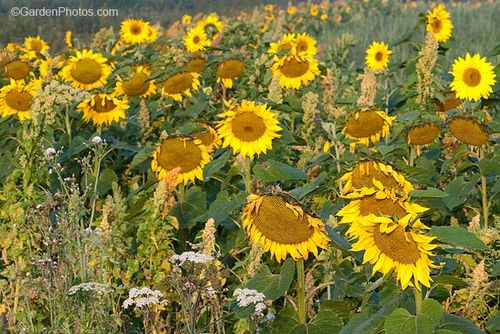 Sunflowers grown for their seed. Image ©GardenPhotos.com (all rights reserved)