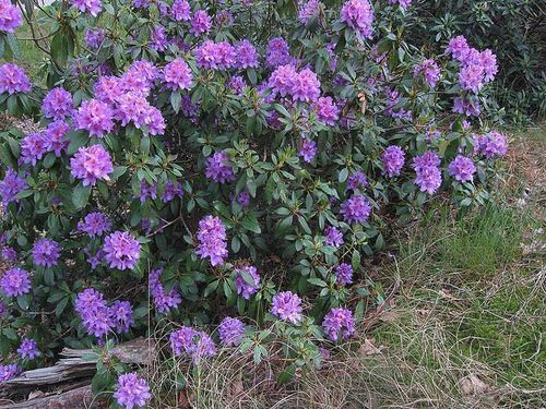 Rhododendron ponticum - invasive in Scotland