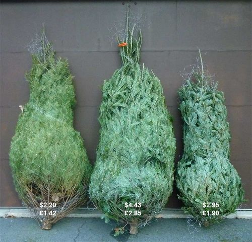 Bargain Christmas Trees from Lowes. Image ©GardenPhotos.com)