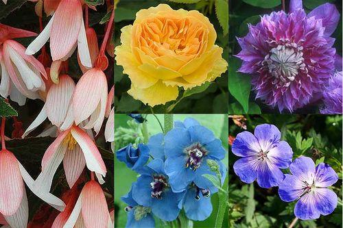 British Bred Begonia Million Kisses Elegance ('Yagance'), Clematis 'Josephine', Geranium Rozanne ('Gerwat'), Rosa Molineux ('Ausmol') and Verbascum 'Blue Lagoon'