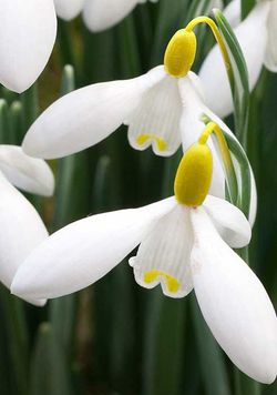 Galanthus woronowii 'Elizabeth Harrison' - the world's most expensive snowdrop