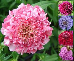 Dessert Series scabious: 'Blackberry Fool' (lilac pink), 'Blueberry Muffin' (lilac blue), 'Cherry Pie' (red), 'Plum Pudding' (purple) and 'Rhubarb Crumble' (pink). Images © Pro-Veg