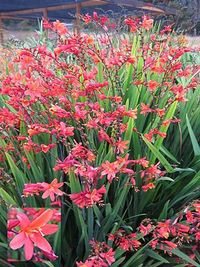 Crocosmia-Debutante-6-FarReaches500