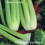 Celeryvictoria