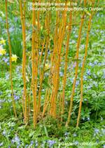 Phyllostachysaurea400