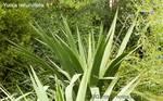 Yuccarecurvifolia500