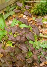 Physocarpuscoppertina1500