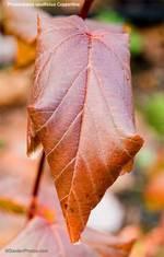 Physocarpuscoppertina2500