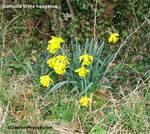 Daffodilshedgerow500