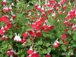 Salviahotlips