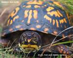 Eastern_box_turtle