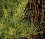 Pinuscolumbus500
